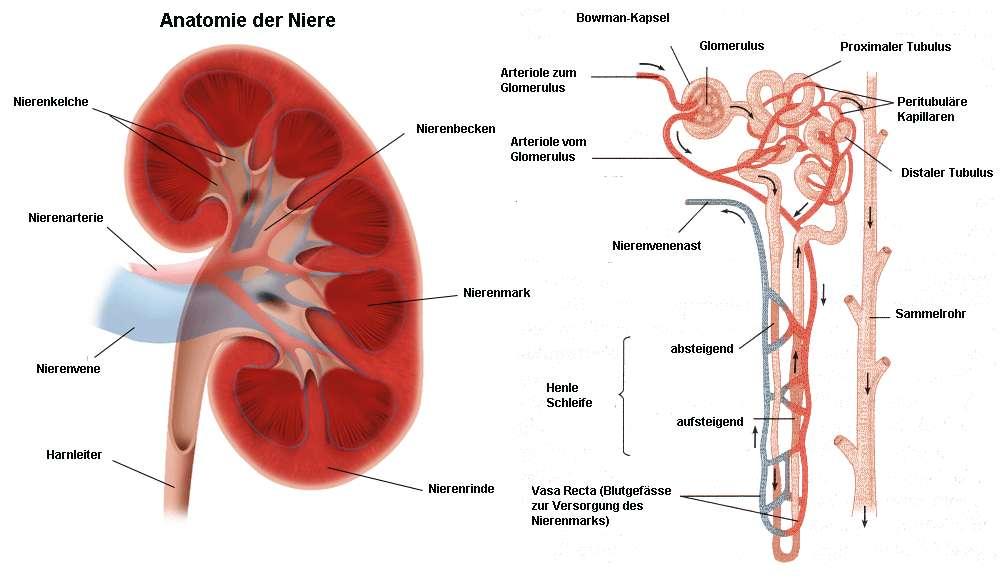 Ausgezeichnet Nieren Funktion Bilder - Anatomie Ideen - finotti.info